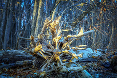 Guardian of The Woods (Roy Manchester) Tags: catskill newyork unitedstates landscape canon canon6d canonllenses colors availablelight abstract trees roots gps geotag 247028l llenses light leaves woods warm outdoors eos ef environment nature