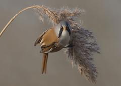 Bearded Tit (Steve Ashton Wildlife Images) Tags: bearded tit beardedtit reedling stodmarsh grove ferry groveferry