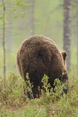TGIF, I'm off for the weekend (derliebewolf) Tags: bären säugetiere wildlife bear brownbear nature animals finland travel 40028 d600 sunset portrait tgif weekend friday ursusarctos