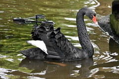 Black Swan (Bri_J) Tags: tropicalbutterflyhouse northanston sheffield southyorkshire uk yorkshire butterflyhouse nikon d7200 blackswan swan bird cygnusatratus