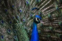 Paon (Annelise LE BIAN) Tags: france sunshine closeup bleu damn animaux oiseaux coth supershot paons fabuleuse alittlebeauty fantasticnaturegroup sunrays5 châteaudurivau