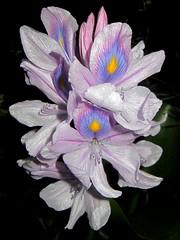 Water hiacynth -   (yoel_tw) Tags: waterhiacynth wonderfulworldofflowers