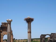 P5261354 (lnewman333) Tags: africa bird ancient northafrica historic worldheritagesite morocco fez maroc maghreb column stork fes nesting volubilis romanruins unescosite 1stcenturyad