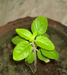 Tulsi Leaf (Kunal-Chowdhury) Tags: plant tree flickr tulsi lumia instagram lumia1020 lumia1020photography pixotic
