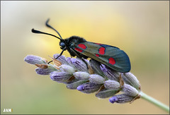 Un nuevo sol (- JAM -) Tags: naturaleza flower macro nature insect nikon flor explore jam mariposas d800 insecto macrofotografia explored lepidopteros juanadradas