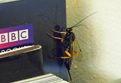 Swordtail! ('cosmicgirl1960' NEW CANON CAMERA) Tags: blue white black home nature yellow wall bug insect wasp purple cream books devon ichneumon yabbadabbadoo
