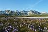 Fiori Crochi sul Gran Sasso - Abruzzo - Italy