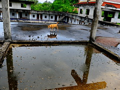 ,, Mama, Roof ,, (Jon in Thailand) Tags: trees roof red dog reflection green rain yellow stairs walking temple movement nikon tail mama jungle nikkor wat k9 tileroof d300 dogonroof decayingbuilding 175528 thelittledoglaughed littledoglaughedstories abandonabusedstreetdogs