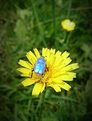 2015-06-30 11.41.33-1 777 (Pep Companyó - Barraló) Tags: macro blau josep coerulea escarbat hoplia companyo barralo