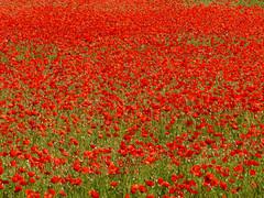 Poppy field, Lower Largo (Niall Corbet) Tags: red field scotland fife poppy papaverrhoeas