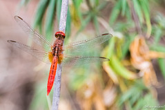 Dragonfly (Harpixel - A Singh's Lens) Tags: summer plant flower nature photography still nikon photographer dragonflies dragonfly butterflies moths naturephotography mosquitohawk naturelovers natureperfection