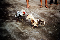 27-255 (ndpa / s. lundeen, archivist) Tags: bali color bird film birds 35mm indonesia nick cock arena dirt southpacific rooster cocks 1970s 27 1972 roosters indonesian cockfight gamecock gamecocks dewolf oceania pacificislands cockfighting nickdewolf photographbynickdewolf cockfightingarena reel27 cockfightarena