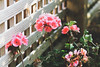 (Josh Meek) Tags: pink flowers light nature canon bokeh 75300mm matte pinkflowers canonrebelt3