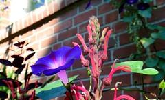 August Vacation (farmspeedracer) Tags: morning blue light plant flower nature wall garden flora purple blossom bloom