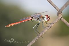 Sympetrum fonscolombii (M Jos Tarruella Rodenas) Tags: naturaleza horizontal macho genitalia alado volador liblulas odonatos anisptero fondodesenfocado sympetrumfonscolobii