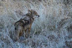 Coyote (Jared Hughey) Tags: california wild mountains nature animal wildlife yosemitenationalpark sierranevada yosemitevalley mariposacounty