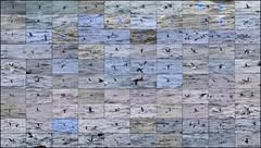119 Common Murre (Uria aalge) (Steve Arena) Tags: uriaaalge commonmurre comu murre alcid seabird seabirds racepoint racepointpoint provincetown barnstablecounty bird birds massachusetts nikon 2016 d750