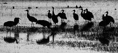 Sandhill cranes (Grus canadensis) at Bosque del Apache National Wildlife Refuge, Socorro Co., New Mexico, USA. (cbrozek21) Tags: cranes sandhillcranes gruscanadensis cranessilhouettes blackandwhite bosquedelapache newmexicobirds ngc
