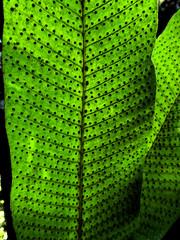 Fern Spore Abstract (elizabatz.jensen) Tags: fern spores abstract green tropical