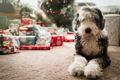 Happy Holidays (demandaj) Tags: oldenglishsheepdog oes nikon d4 35mm f25 holidays cute dogs animal fluffy shaggy love lovebug snuggly christmas