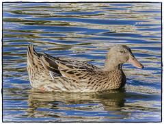 PATO (BLAMANTI) Tags: patos aves auaticas