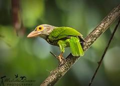 Posing (Modestus Lorence) Tags: naturereserve sungeibuloh canon300mmf28isii canon1dxmarkii singapore lineated barbet outdoor animals birds