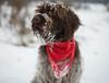 _DSC5085 (sochacki.info) Tags: szyszka griffon wirehaired pointing wpg gundog winter snow hunting dog poland sanok forest walk outside freezing