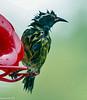 Sucrier à ventre jaune (wpierre48) Tags: guadeloupe oiseau sucrier