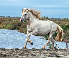 2016 Two Camargue Stallions (10) (maskirovka77) Tags: saintlaurentdaigouze languedocroussillonmidipyrén france languedocroussillonmidipyrénées fr stallion stallions whitehorse whitehorses whitestallion whitestallions createaway photoworkshop