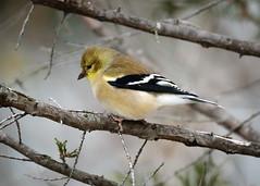 Goldfinch - 6341 (RG Rutkay) Tags: americangoldfinch animal backyard bird finch home outdoor winter