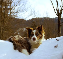 Mon chien (GastonGraphy) Tags: dog chien nature landscape bordercollie pose regard look outdoor snow neige hiver winter