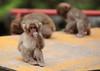Nuts (iorus and bela) Tags: snowmonkeys japan monkey monkeys japanesemonkey yudanaka iorus bela september summer zomervakantie snowmonkeysinthesummer asia travel macaque japanesemacaque wild wildlife