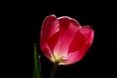 IMGP0843 Tulip (tsuping.liu) Tags: outdoor organicpatttern blackbackground bright blooming red redblack plant perspective flower nature natureselegantshots naturesfinest