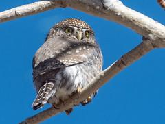 Northern Pygmy Owl (Glaucidium gnoma) (fugle) Tags: northernpygmyowl owl daviscreekregionalpark nevada