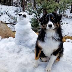 53/52 - Do You Want To Build A Snowman? (jayvan) Tags: dash aussie australianshepherd dog snow snowman fun play prescott arizona 52wfd 52weeksfordogs samsung s7