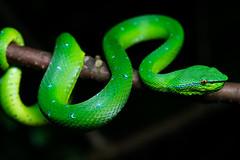 Green Pit Viper (Bryn Tassell) Tags: bako bakonationalpark borneo jungle mala malaysia tropical green pit viper snake