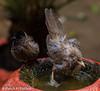 Jungle babbler and Red vented bulbul (asheshr) Tags: 200500mm bird birdbath birds birdshavingbath bulbul junglebabbler nikon nikond7200 redventedbulbul babbler birdsofindia birdsofodisha birdsoforissa