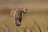 Short-eared owl (fire111) Tags: shorteared owl velduil bird prey roofvogel birding wild wildlife uil sja