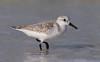 Sanderling (Gary McHale) Tags: sanderling north beach fort de soto county park