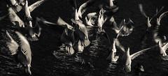 Liquid flight (Coisroux) Tags: liquid ripples emerging flight takeoff confused focus birds seagulls feeding wingspan water frenzy superstitious motion movement speed d5500 surreal splash blackandwhite monochrome