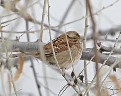 White-throated Sparrow (Keith Carlson) Tags: whitethroatedsparrow zonotrichiaalbicollis sparrows
