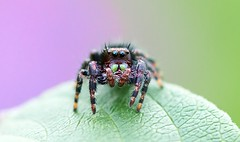 Spider Straight On (imageClear) Tags: spider nature critter jumpingspider straighton closeup macro aperture nikon d500 105mm imageclear flickr photostream