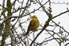 Yellowhammer (James Oliver Lewis) Tags: bird nature venuspool shropshire yellowhammer