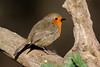 _F0A8906.jpg (Kico Lopez) Tags: erithacusrubecula galicia lugo miño petirrojo spain aves birds rio