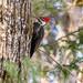 Pileated Woodpecker Centennial Park