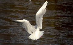 Mouette (Axel Bobard) Tags: mouette meuse ourthe glace ice bird oiseau birds oiseaux rieuse vol flight