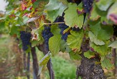 wine 1 (thiloroma) Tags: wine wein blackforest schwarzwalt anbau trauben landscape