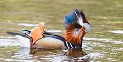 Windblown (Steve-h) Tags: bushypark birds nature natural natur natura naturaleza duck mandarin drake feathers cleanup wash brushing colours colour pretty orange blue white black bronze grey water pond park dublin ireland europe spring april 2016 steveh digital exposure canon camera lens ef eos preen preening