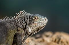 Iguana (HRLM&TS Photography) Tags: iguana leguaan animal dier head hoofd green groen reptiel reptile pentax k5iis