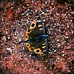 Butterfly on gravel (Margarets Photos) Tags: butterfly gravel insect